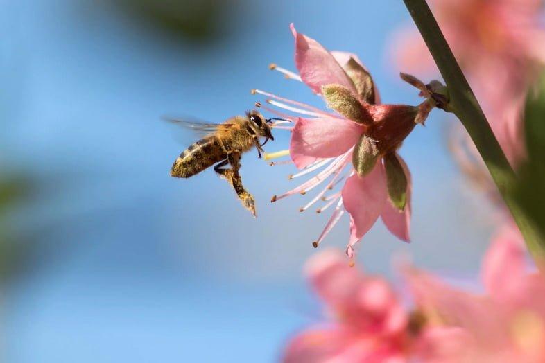 Медоносная пчела на цветке в Калифорнии
