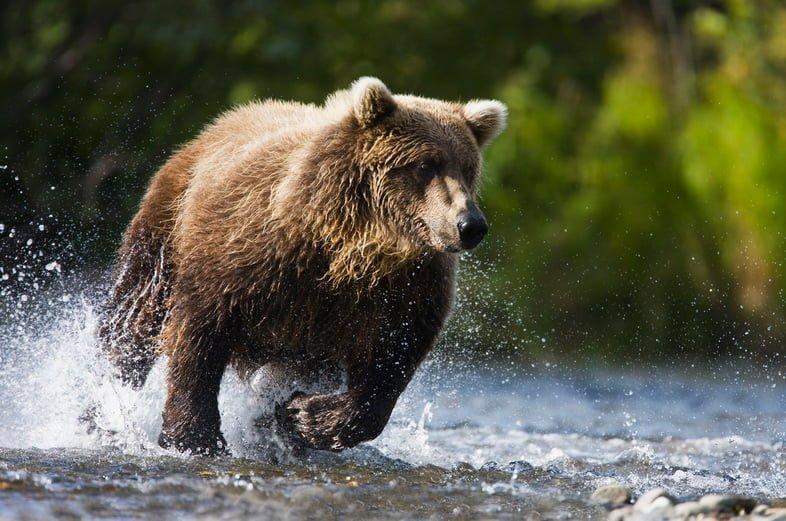 Медведь гризли бежит через ручей