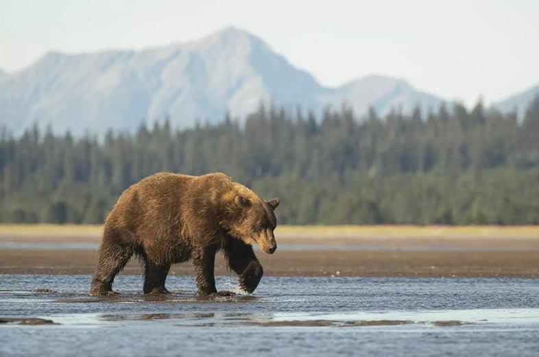 Медведь гризли идет по воде на фоне горы