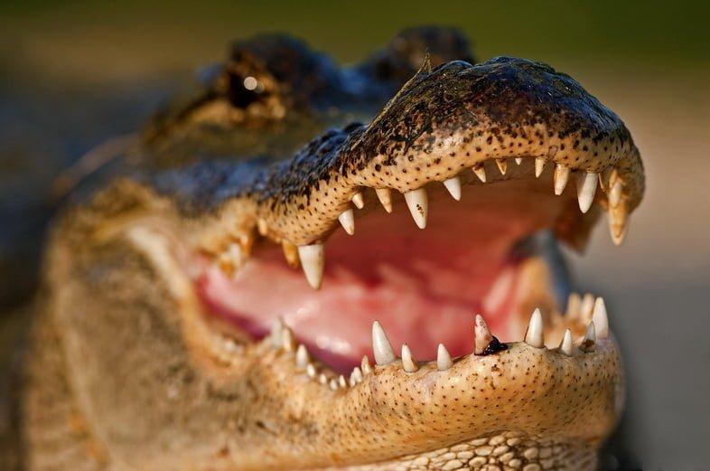 Миссисипский аллигатор показывает зубы