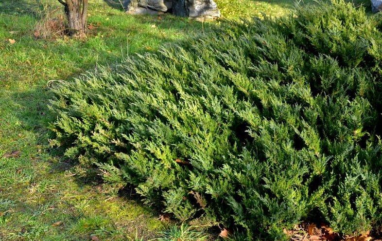 Можжевельник стелющийся – вид на многолетние клумбы под зимним солнцем
