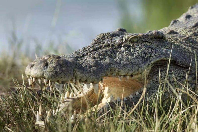 Нильский крокодил в национальном парке Чобе, Ботсвана
