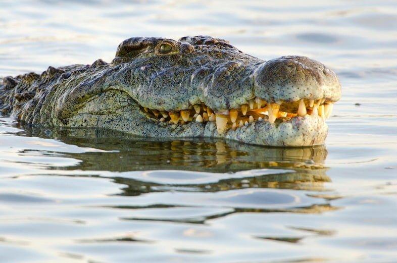 Нильский крокодил в национальном парке Крюгера. Южная Африка
