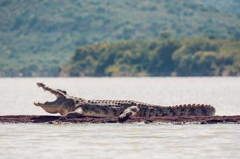 Огромный аллигатор на участке суши в реке