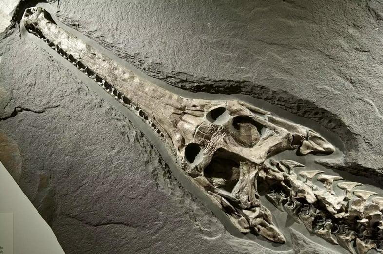 Окаменелость древнего крокодила
