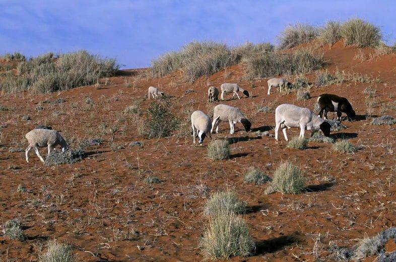 Перевыпас скота на африканском поле.