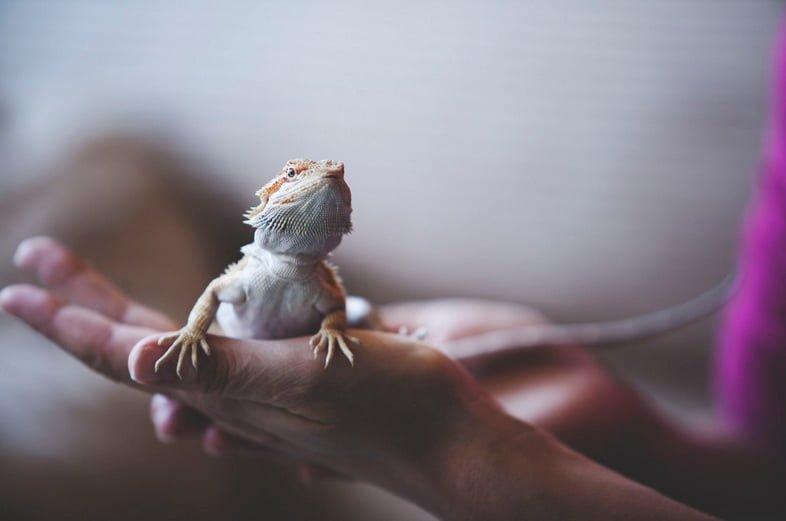 Фотография рептилии: бородатая агама на руке человека
