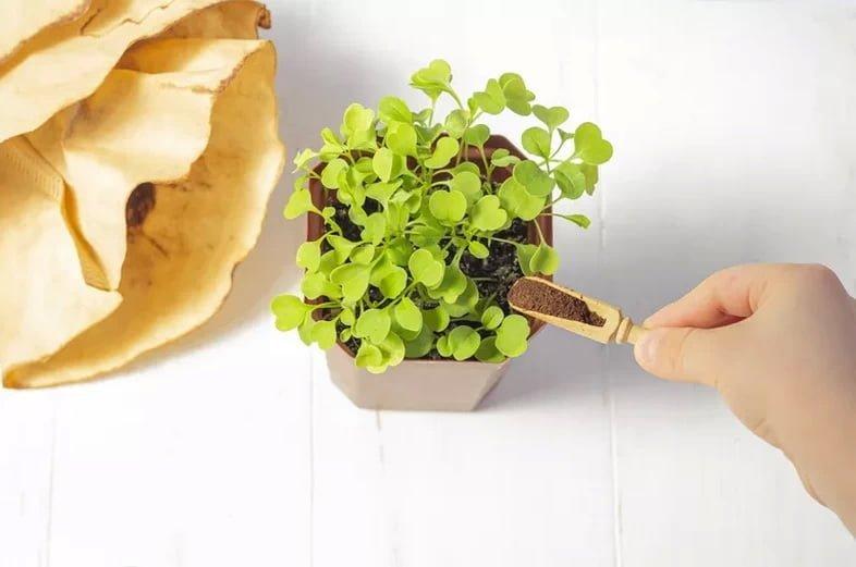 Подкормка растения кофейной гущей