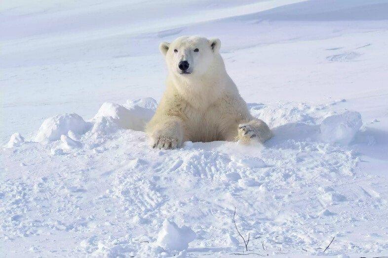 Самка белого медведя (Ursus maritimus) выходит из свежеоткрытой берлоги, национальный парк Вапуск, Канада.