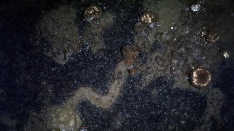 Пример следа, оставляемого губками, когда они ползают по морскому дну.