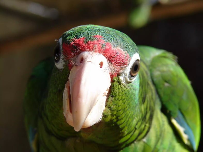 Пуэрто-риканский амазон / Cotorra Puertorriqueña / Научное название: Amazona vitatta