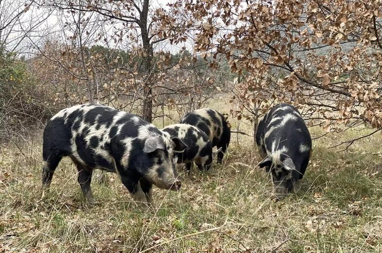 Пятнистые свиньи на охоте за трюфелями в Провансе, Франция