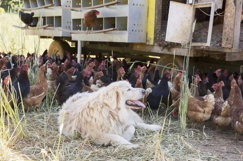 Пиренейская горная собака, лежащая возле гуляющих на ферме кур