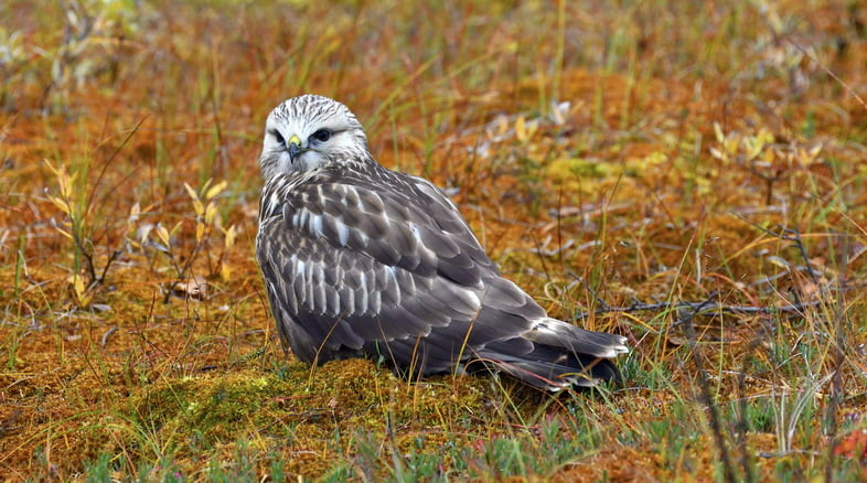 Мохноногий канюк или ястреб (Buteo lagopus), сидя, осенняя тундра, Северная Норвегия, Норвегия