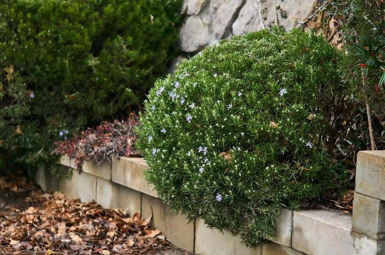 Обрезанный куст розмарина цветет зимой над опавшими листьями