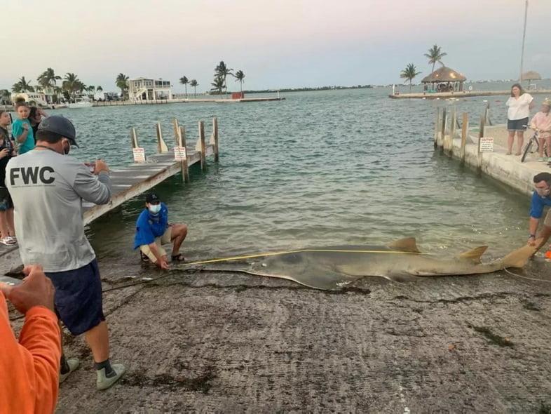 На этой неделе на берег Флорида-Кис была выброшена самка рыбы-пила длиной 4,9 метра.