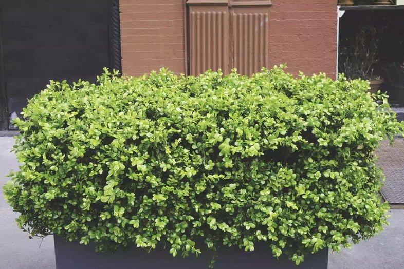 Большой зеленый кустарник на тротуаре Нью-Йорка