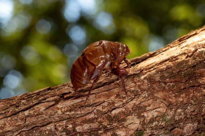 Сброшенный экзоскелет цикады на дереве