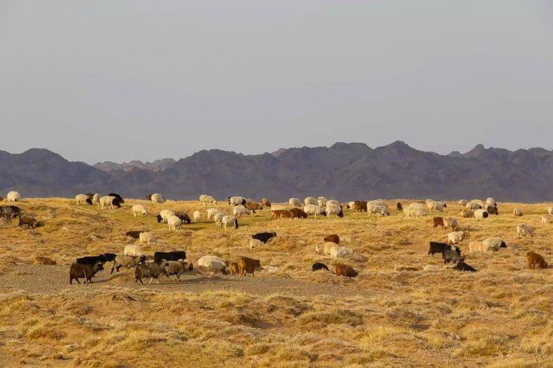 Овцы и козы свободно пасутся в пустыне Гоби в Монголии