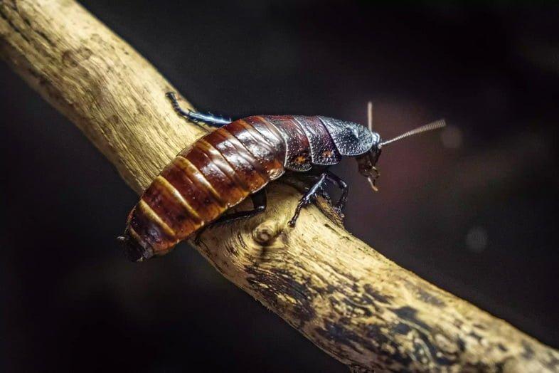 Одиночный мадагаскарский шипящий таракан в террариуме зоологического сада