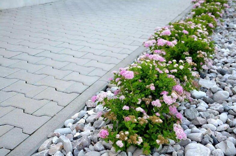Кусты розового цвета в ряду мульчированной белой галькой