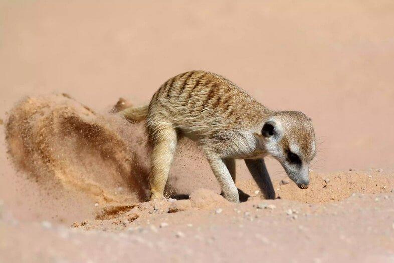 Сурикат копает песок в пустыне