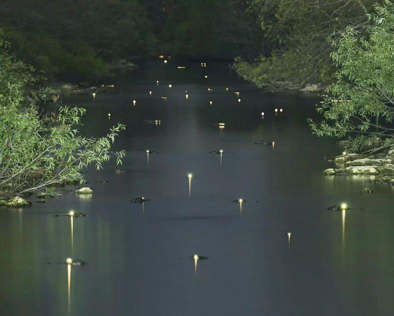 Светящиеся глаза аллигаторов в реке ночью
