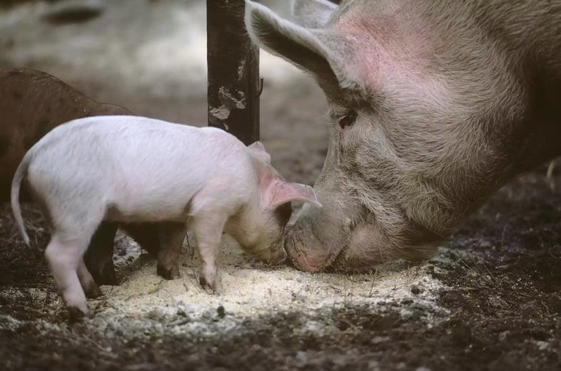 Свиноматка и ее поросенок