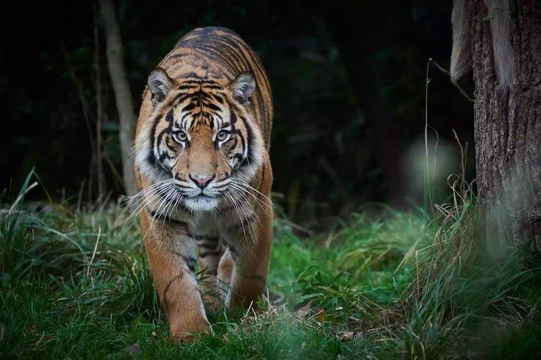 Преследующий тигр