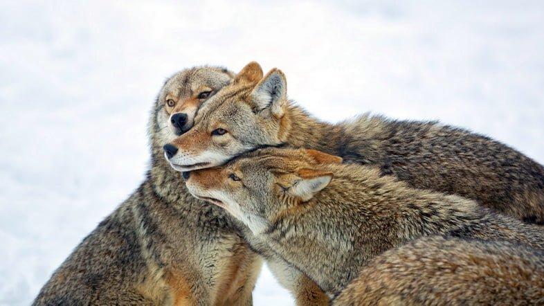Три койота