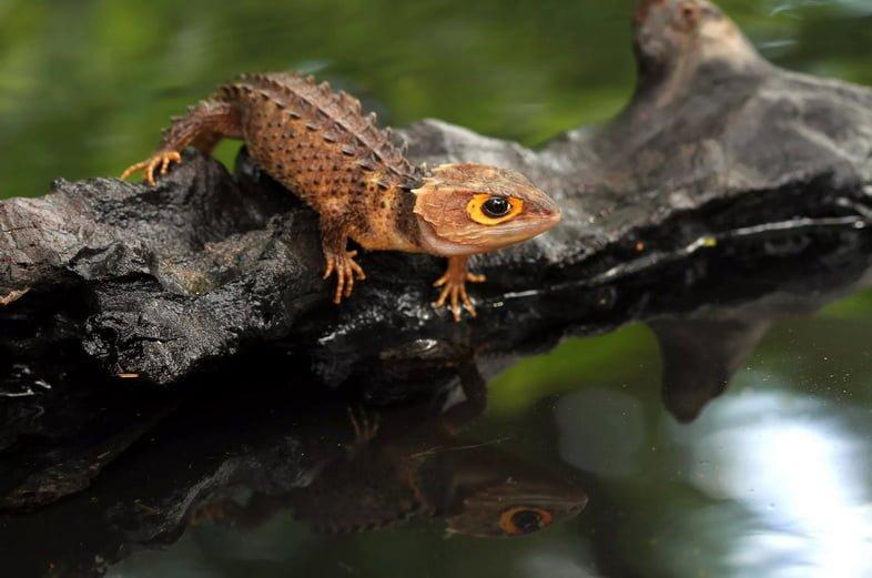 Крокодиловый сцинк