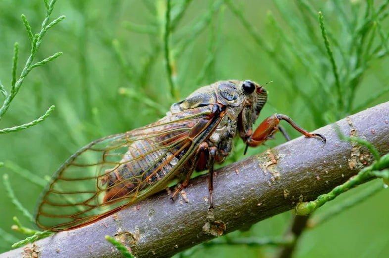 Цикада на ветке, заснятая крупным планом