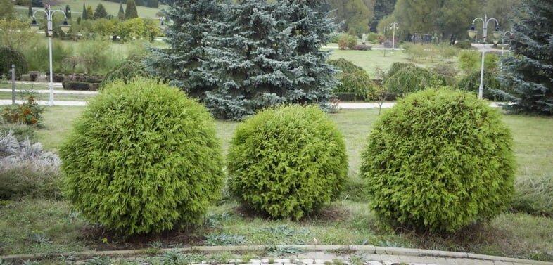 Туя западная Даника, круглая форма, декоративный сад