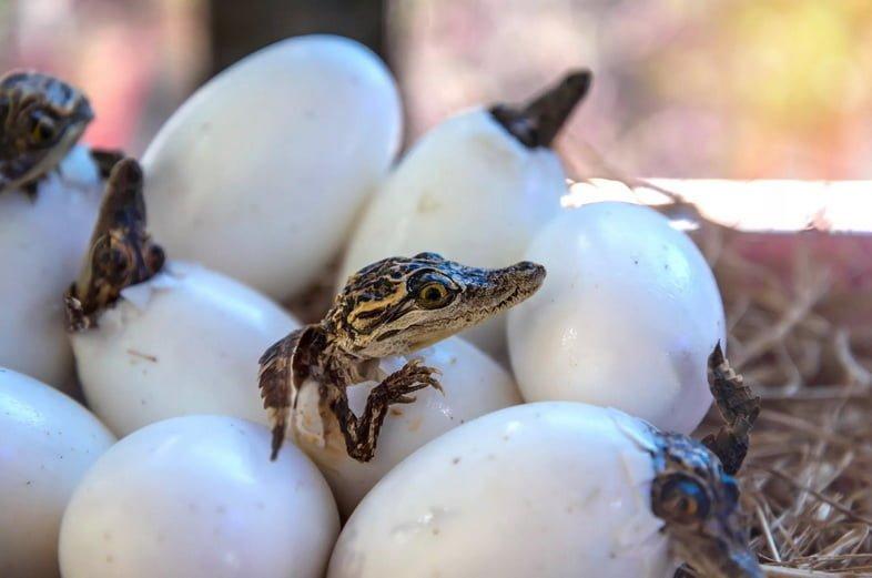 Вылупление аллигаторов из яиц