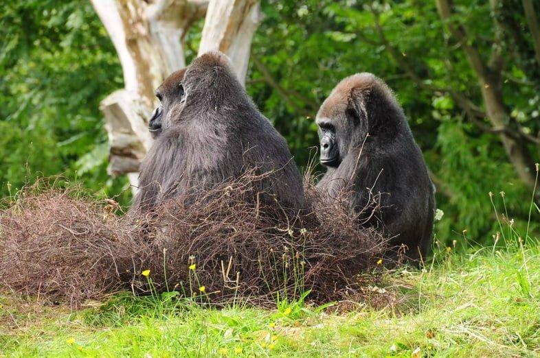 Западная равнинная горилла.