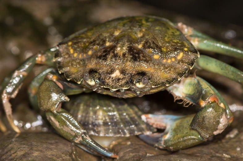 Зеленый краб - инвазивный вид