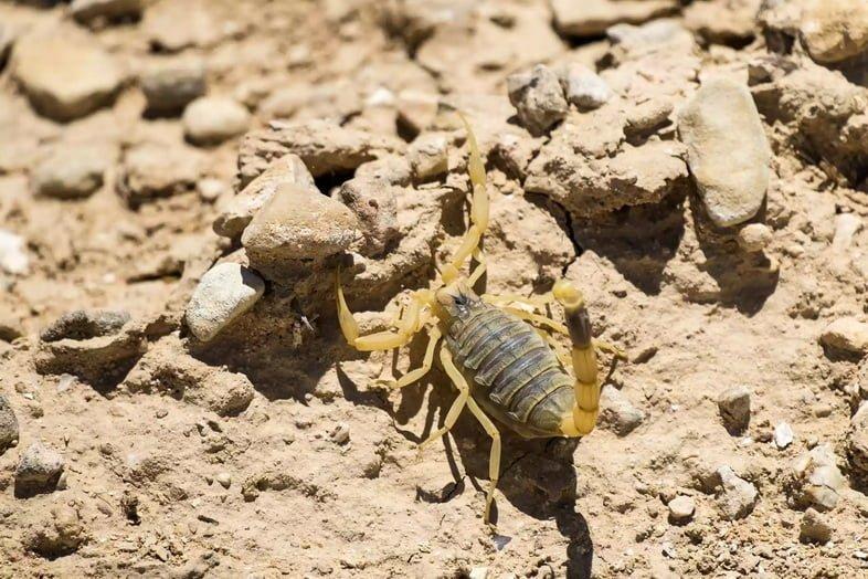 Жёлтый скорпион в пустыне в Израиле