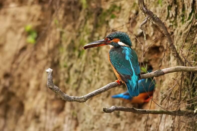 Пара обыкновенных зимородков в сезон размножения роет логово на берегу реки