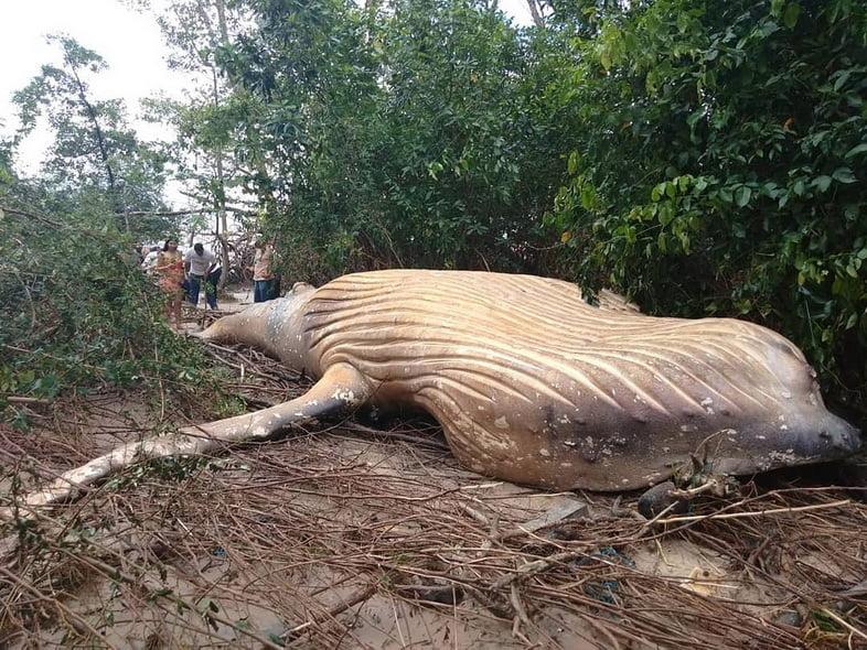 Кит был найден на бразильском острове Мараджо, примерно в 15 метрах от океана.
