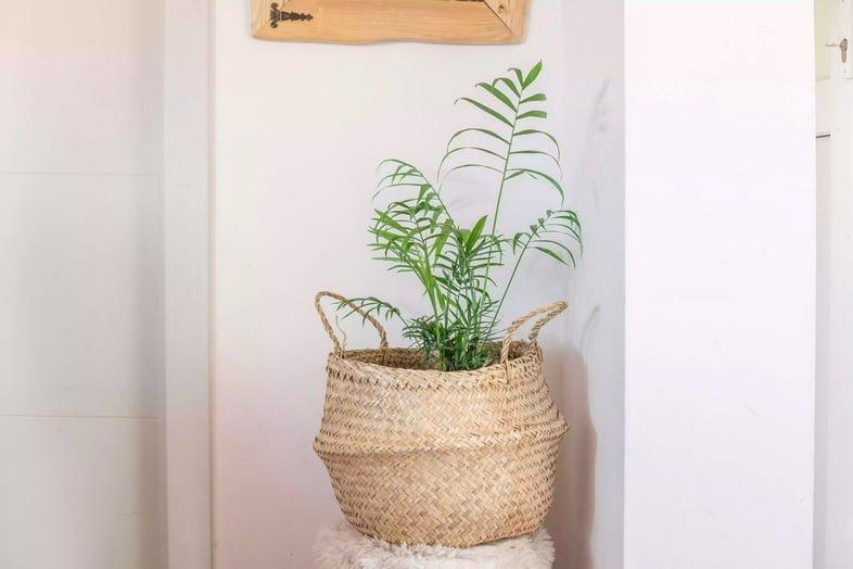 Хамедорея изящная в горшке плетеной корзине на стуле в доме с белыми стенами