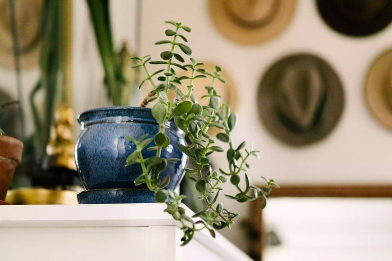 Толстянка яйцевидная в синем горшке на полке у стены из шляп