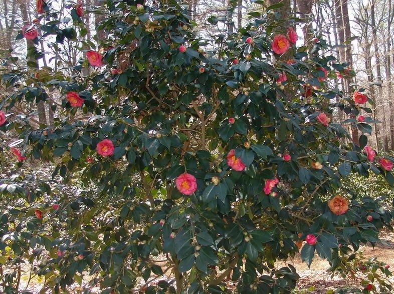 Округлый зеленый куст с парой десятков розовых цветков камелии японской в полном цвету.