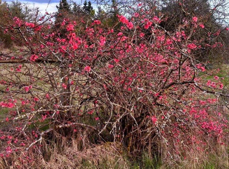 Запутанный древесный куст с сотнями маленьких розовых соцветий в поле.