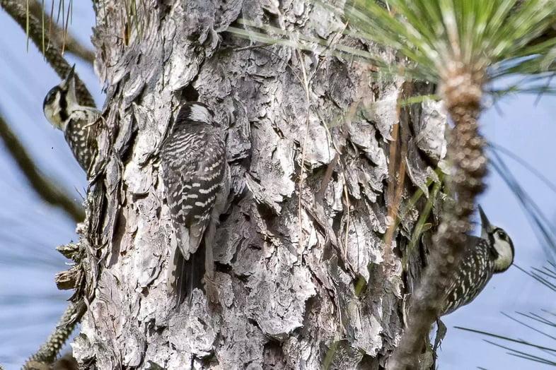 Редкие птицы с красными кокардами на дереве.