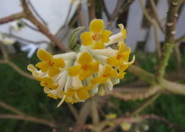 Шаровидное скопление маленьких желтых цветков растет на кустарнике