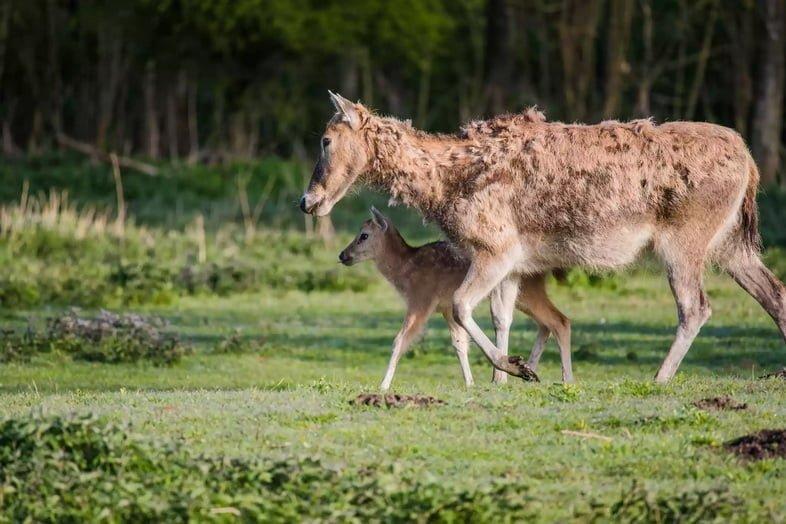 Самка оленя Давида (милу) с оленёнком