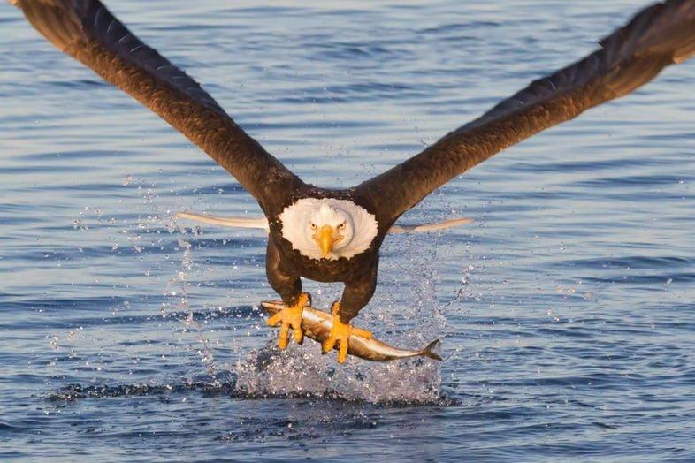 Белоголовый орлан низко летит над водой с рыбой в когтях.