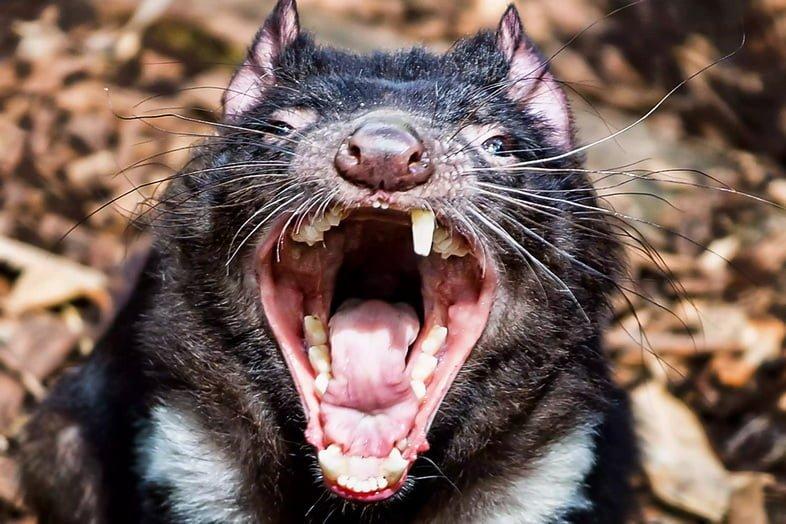 Тасманский дьявол с открытым ртом обнажает зубы.