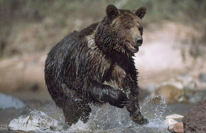 Медведь гризли бежит по реке.