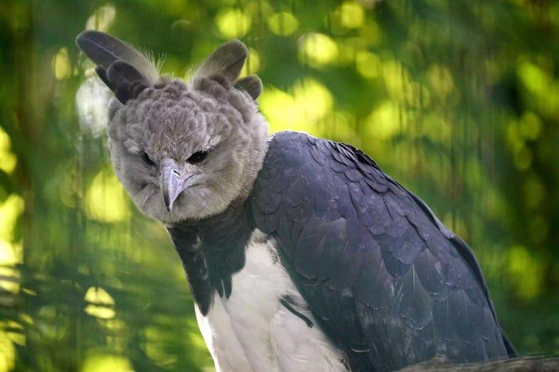 Южноамериканская гарпия с серой головой и приподнятыми коронными перьями сидит в лесу.